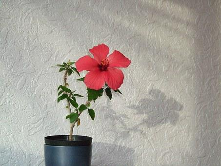 Red, Flower, Hibiscus, China Rose, Chinese Hibiscus