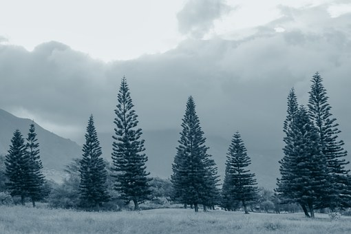 Pine Trees, Fog, Gray, Grey, Blue, Cloudy, Nature, Pine