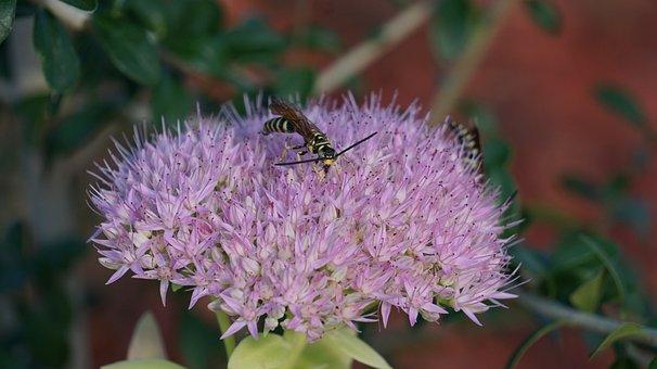 Sedum Spectabile, Insects, Bee, Flowers, Purple, Nature