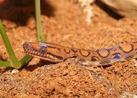 Snake, Rainbow Boa, Reptile, Scale, Constrictor, Color