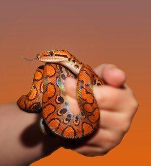 Snake, Rainbow Boa, Reptile, Scale