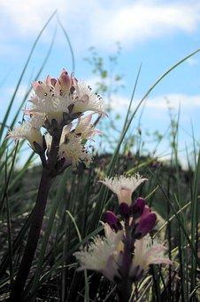 Fever Dress, Flowers, Stamens, Bud, Marsh Plant