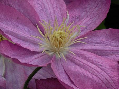 Clematis, Bloom, Plant, Summer, Nature, Flower