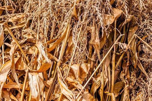 Agriculture, Agronomy, Autumn, Close-up, Corn
