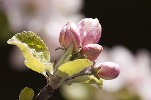 Apple Blossom, Bloom, Flowers, Bud, Spring, Lenz, One