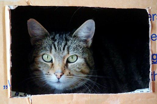 Cat, Cat Face, Moving Box, Moving With Animals, Pet
