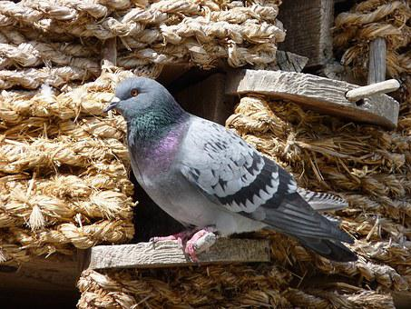 Dove, Dovecote, Bird, Animal, Bill, Feather, Tail, Head