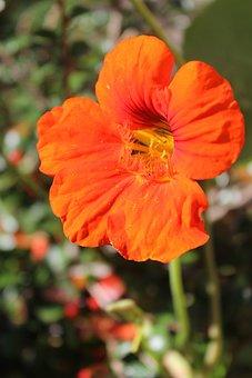Nasturtium, Bright, Beautiful, Flower, Plants, Red