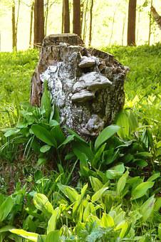 Forest, Woods, Lilies Of The Valley, Woodland, Stump
