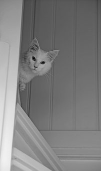Mainecoon, Animal, Cat, Cats, Cat Face, Hangover
