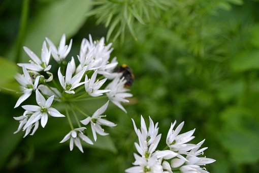 Wild Garlic, White Flower, Herb, Ransoms