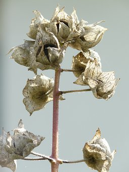 Infructescence, Seeds, Grey, Brown, Dried, Faded