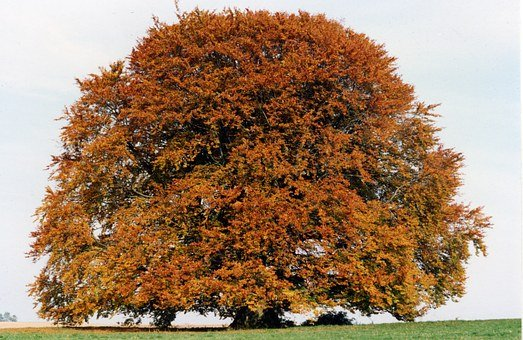 Bavaria Beech, Beech, Tree, Large, Old, Upper Bavaria