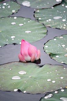 Pink Lotus Flower Faded, Green Leaves, Old Lotus Leaf
