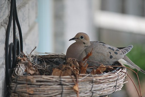 Pigeon, Bird, Nest, Turtle Dove, Dove, Gray
