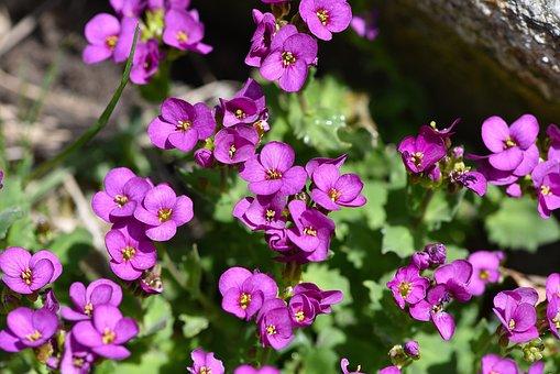 Cushion Flowers, Pink, Flowers, Nature, Garden