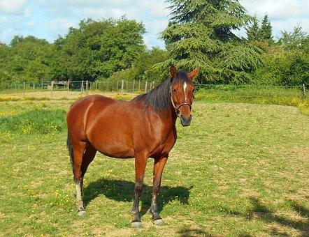 Horse, Equine, Pure Arab Blood, Breeding, Mare