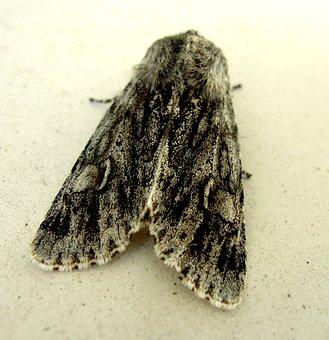 Butterfly, Moth, Creature, Bug, Insect, Nature, Kiitäjä