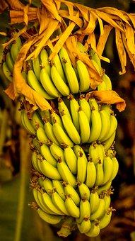 Bananas, Indian, Fruit, Fresh, Hindustani