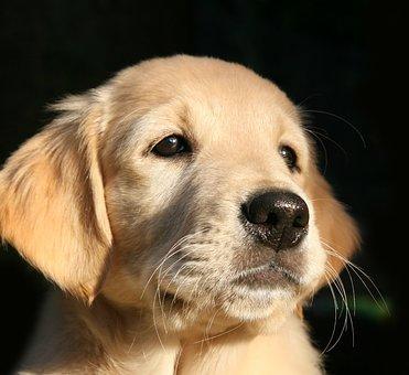 Puppy, Dog, Golden Retriever, Dog Head, Hundeportrait