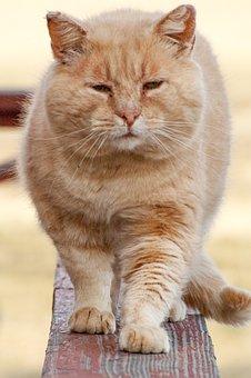 Cat, Walking, Orange Tabby, Orange, Tabby, Pet, Animal