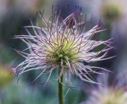 Pulsatilla, Anemone, Flower, Plant, Spring, Nature