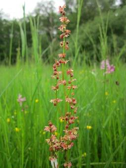 Rumex Acetosella, Sheep's Sorrel, Red Sorrel, Sour Weed