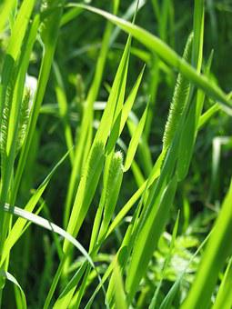 Weed, Grass, Hay, Plant, Flora, Nature, Green, Summer