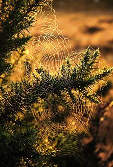 Spider, Web, Tree, Insect, Trump, Hunting, Sunset Light