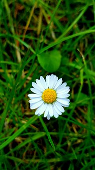 Daisy, White, Nature, Floral, Summer, Field, Plant