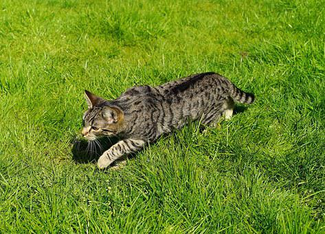 Cat, Domestic Cat, Garden, Young Cat, Stalking, Grass