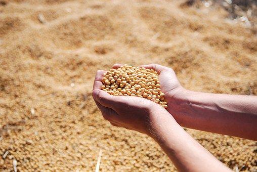 Soybean, Hand, Agro, Harvest, Seeds, Leguminous