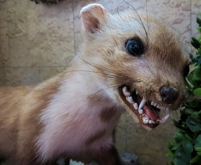 Marten, Animal, Predator, Aggressive, Dangerous