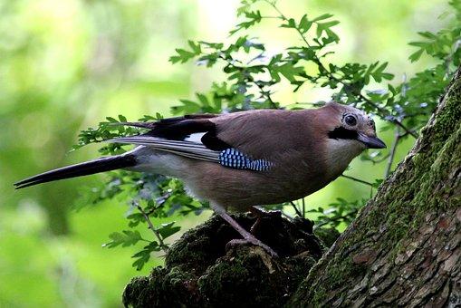 Jay, Bird, Woodland, Feathers