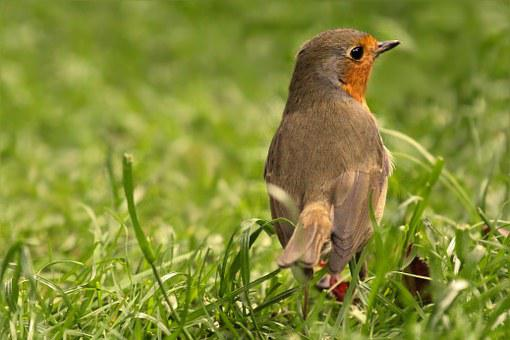 Bird, Robin, Young Animal, Foraging, Garden