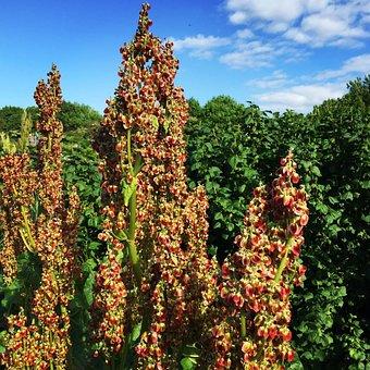 Rhubarb, Flowers, Flower Seeds