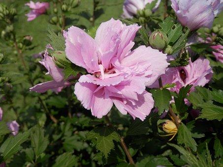 Althea, Rose Of Sharon, Flower, Hibiscus, Foliage, Leaf