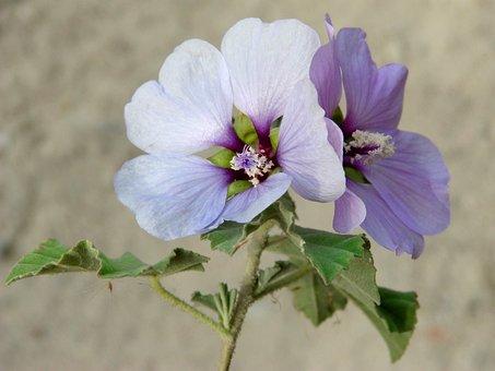 Lilac Hibiscus, Wild Flower, Flower, Lilac, Purple