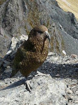 Kea Parrot, New Zealand, Travel, Mountains, Summer