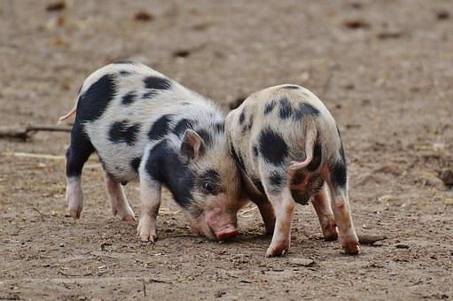 Piglet, Wildpark Poing, Small Pigs, Mini, Cute, Sweet