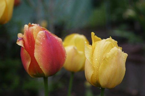 Spring, Public Record, Flora, Rain, Raindrop, Tulip
