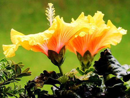 Hibiscus, Mallow, Flowers, Petals, Pistil, Yellow, Red