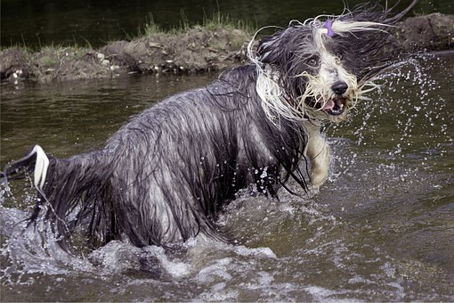 Bearded Collie, Dog, Wet, Hilarious, Skáčuci, Water