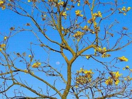 Moon, Sky, Yellow Ipê, Farm, Reflection, Tree