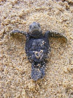 Baby Sea Turtle, Olive Ridley Turtle, Baby, Newborn