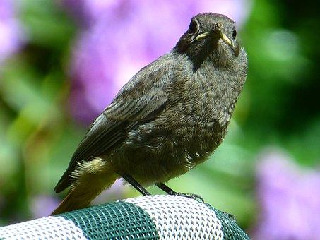 Blackbird, Young Animal, Bird, Cheeky, Turdus Merula