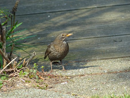 Blackbird, Turdus Merula, True, Throttle, Turdidae