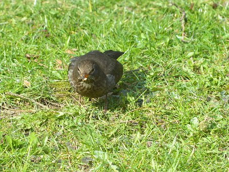 Blackbird, Turdus Merula, True, Throttle, Turdidae