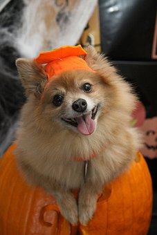 Dog, Halloween, Costume, Holiday, Fun, Pumpkin, Trick