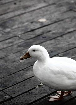 Duck, Bird, Animal, Wild, Farm, Feather, Mallard
